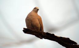 Dove artistic Stock Image