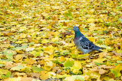 Dove on autumn leaves Stock Photo
