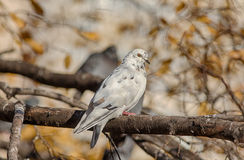 Dove on autumn tree Royalty Free Stock Photos