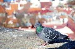 Dove on a background of red roofs in the Tallinn. Dove on a background of red roofs royalty free stock images