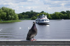 Dove. The dove on the background of the ship and the river Royalty Free Stock Images