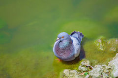 Dove bathing in the lake. Pigeon bathe in clear water near the shore of the lake Stock Photos