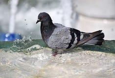 Dove is bathing Stock Photos