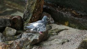 Dove on the beach seeks food among the stones. He has a damaged wing. stock footage