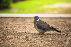 Dove. Beautiful pigeon in Tuilleries garden in Paris, France Stock Photography