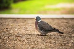 Dove. Beautiful pigeon in Tuilleries garden in Paris, France Stock Photography