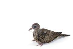 Dove bird. Baby dove bird with copy space background Stock Photo