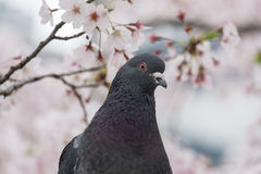 Dove bird and cherry blossoms Stock Photography