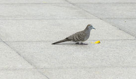 Dove bird eating food on tile floor/ground. Stock Images