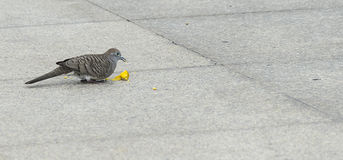 Dove bird eating food on tile floor/ground. Royalty Free Stock Image