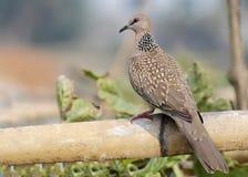 Dove bird. Eurasian Collared dove, Streptopelia decaocto Stock Photography