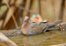 Dove bird. Fun in the water. Beautiful and natural brown background royalty free stock photography