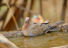 Dove bird royalty free stock photography