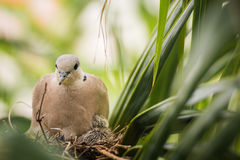 Dove bird sitting in the nest on a palm tree Stock Photo