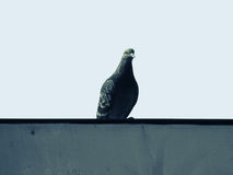 Dove bird a sitting on the parapet. Royalty Free Stock Photo