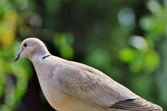 Dove, Bird, Street Deaf Royalty Free Stock Image