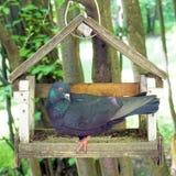 dove bird table Stock Photo