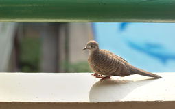 Dove bird on terrace and swimming pool background, focus on eyes Stock Image