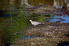 Dove bird Stock Images