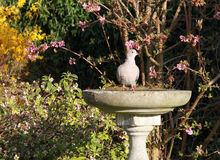 Dove on a birdbath Royalty Free Stock Photo