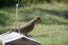 Dove on birdfeeder. A mourning dove sitting on the roof of a.wooden birdfeeder Royalty Free Stock Photography