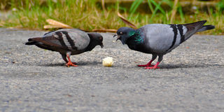 Dove birds eating grain rice. Stock Dove Columba oenas foraging in the grass of a bright green lawn Stock Photography