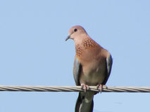 Dove birds or pegeons Royalty Free Stock Images