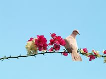 Dove on blossoming branch. Dove bird perching on blossoming branch of tree with blue sky background Royalty Free Stock Image