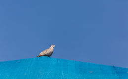 Dove on Blue Roof Royalty Free Stock Image
