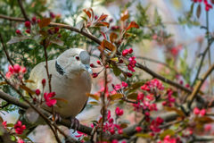 Dove. A dove on a branch Stock Photo