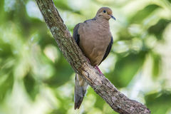 Dove On A Branch royalty free stock photo