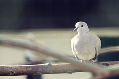 Dove on branch Royalty Free Stock Images