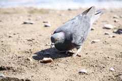 Dove and bread crumbs Royalty Free Stock Photos