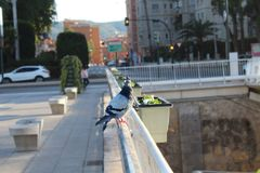 Dove on the bridge. Dove on the Murcia bridge on the Segura river Royalty Free Stock Image