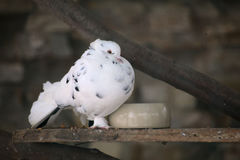 A dove with a bright white plumage.  Royalty Free Stock Photo
