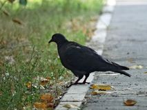 Pigeon on the pavement. Dove broads thoughtfully on the paved path Stock Photo