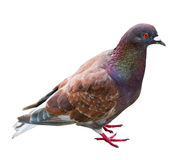 Dove with the brown color Stock Images