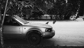 Dove by car Stock Photo