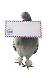 Dove Carrying Air Mail Envelope White Background Royalty Free Stock Image