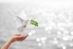 Dove carrying leaf branch Royalty Free Stock Photos