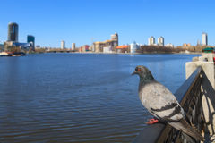 Dove of the central waterfront Yekaterinburg Royalty Free Stock Photography