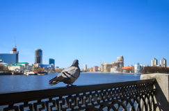 Dove of the central waterfront Yekaterinburg Royalty Free Stock Images