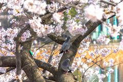 dove and cherry blossom in spring season royalty free stock image