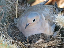 Dove with chicks royalty free stock images