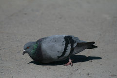 Dove. Royalty Free Stock Photo