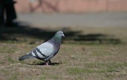 Dove. Stock Photos