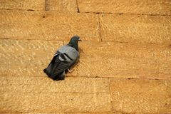 Dove Clinging on Stone Wall Stock Photo