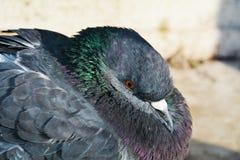 Dove, close-up Stock Photo