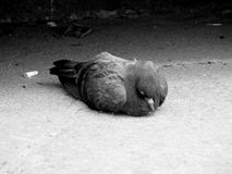 A sad, drooping bird lies on the ground. The dove closed his eyes and lost strength Stock Photo