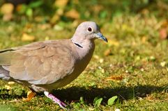 Dove, Collared, Bird, City Pigeon Stock Photos
